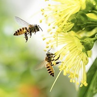 Beeswax compress